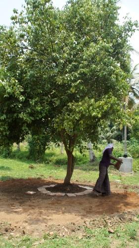 Anlage einer Terasse zum morgendlichen Brunchen unter einem All Spice Tree