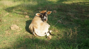 Wenn die Kuh nicht gerade wie hier Yoga praktiziert, wird sie zum nachhaltigen Kürzen des Rasens eingesetzt