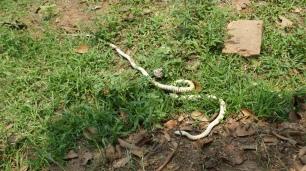 Kurz vor einem tödlichen Angriff wurde dieser Schlange von den Arbeitern das Handwerk gelegt